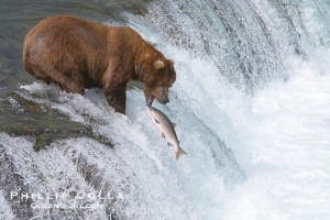 Brown bear catching salmon