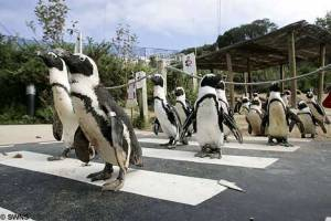 penguin_crossing_2sfw[1]