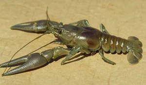 rusty_crayfish[1]
