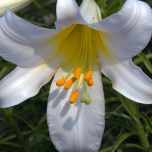lilium_lily_uplandin_20090615_lah_005[1]