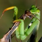 sb2-praying-mantis[1]