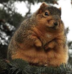 really fat squirrel