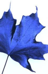 blue maple
