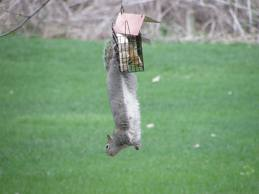 squirrel at feeder